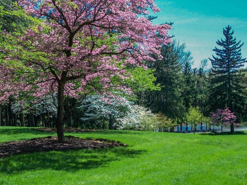 Frühlings-Landschaft - blühender Hartriegel-Bäume stockfotos