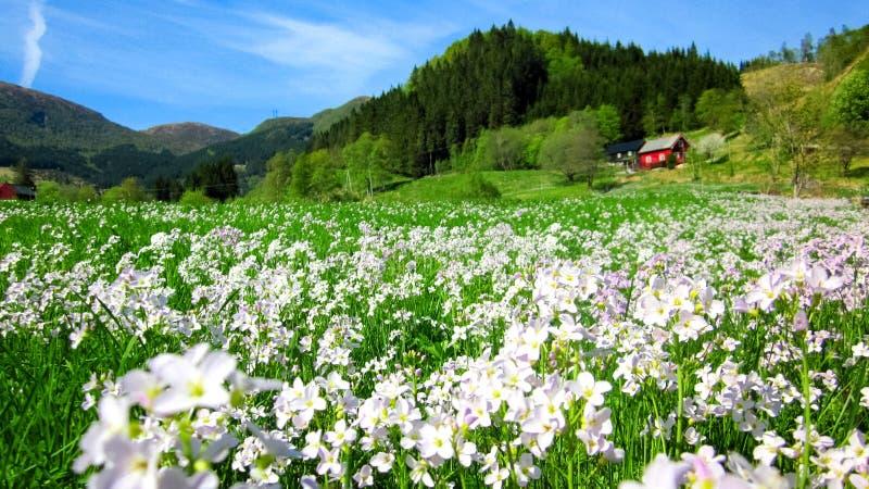 Frühlings-Landschaft mit einem Feld von wilden rosa Wiesenschaumkräutern und einem roten Haus in einem grünen Tal stockbilder