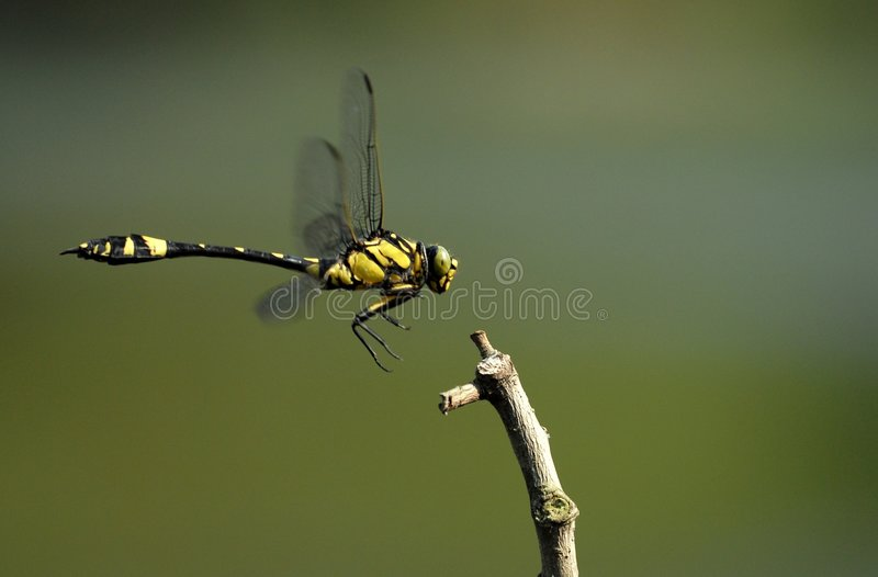 Frühlings-Libellen (Gomphidia confluens Selys) stockbild