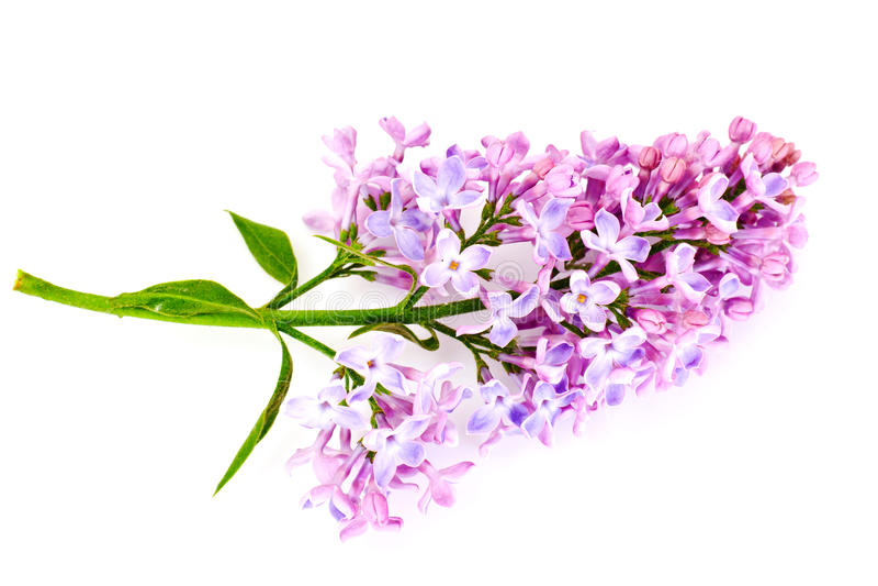Frühlings-lila Blumen Auf Einem Weißen Hintergrund Stockbild - Bild ...