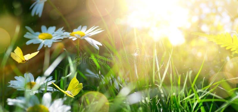 Frühlings- oder Sommernaturhintergrund mit blühenden weißen Blumen und Schmetterling gegen Sonnenaufgangsonnenlicht fliegen stockfoto