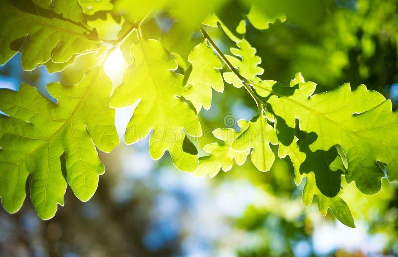 Frühlings- oder Sommernaturhintergrund mit grünem Eichenlaub stockbilder