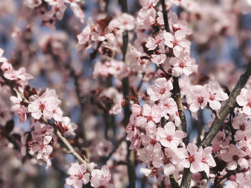Frühlings-Rosa stockfotos
