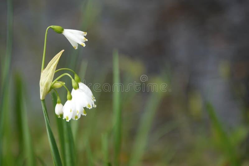 Frühlings-Schneeflocke Leucojum-Blumen stockfoto