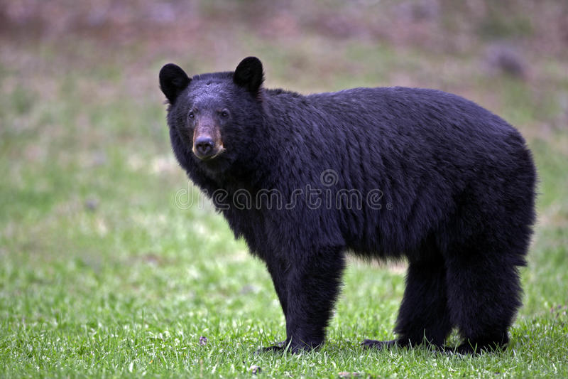 Frühlings-schwarzer Bär lizenzfreie stockbilder