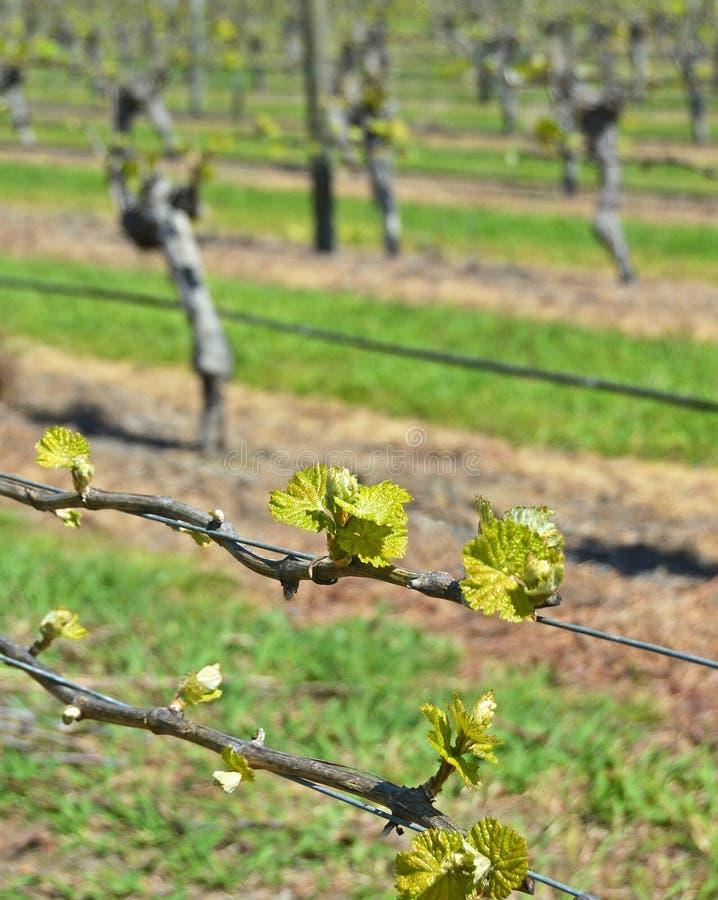 Frühlings-Wachstum auf Sauvignon Blanc-Reben in Marlborough, neues Zeala stockfotografie