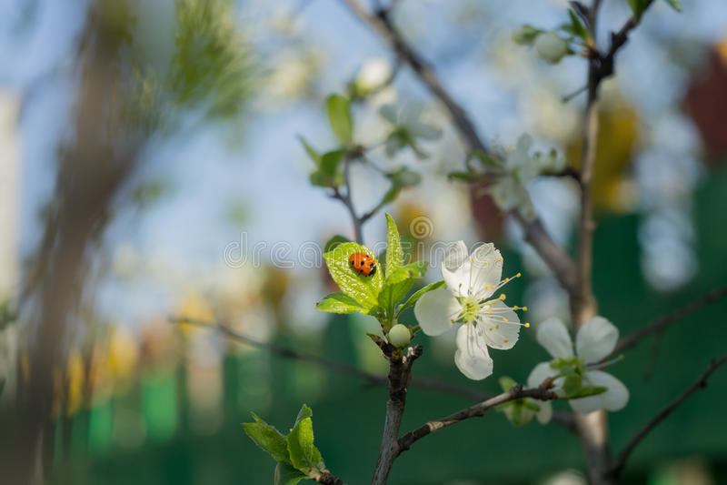 Frühlings-Weiß-blühende Bäume Stockfoto - Bild von blume, frühling ...