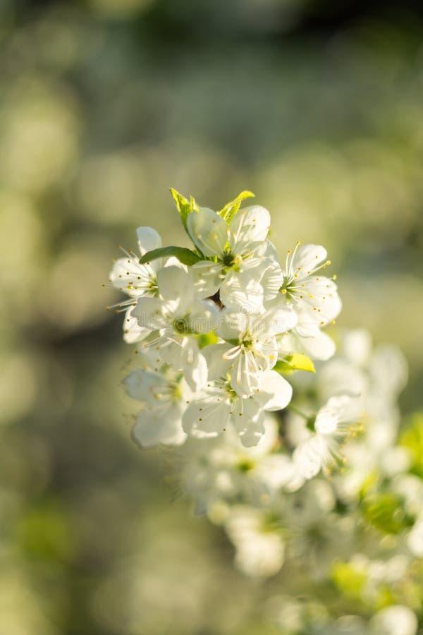 Frühlings-Weiß-blühende Bäume Stockfoto - Bild von frühling, sonnig ...
