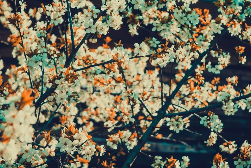 Frühlings-Weiß-blühende Bäume Retro- Stockfoto - Bild von ...