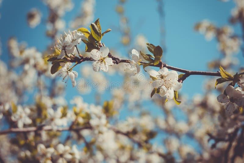 Frühlings-Weiß-blühende Bäume Retro- Stockbild - Bild von jahreszeit ...