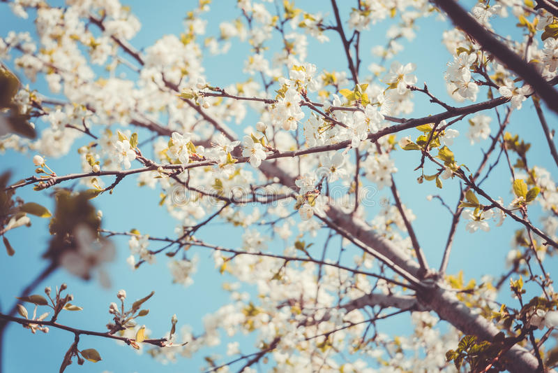 Frühlings-Weiß-blühende Bäume Retro- Stockfoto - Bild von blühen ...