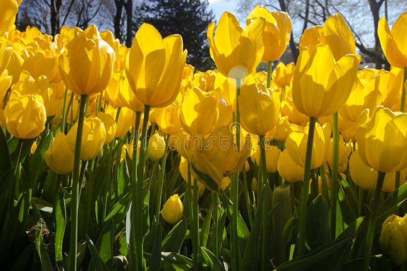 Frühlings-Zeit für Istanbul im April 2019, Tulip Field, gelbe Tulpen lizenzfreie stockfotografie