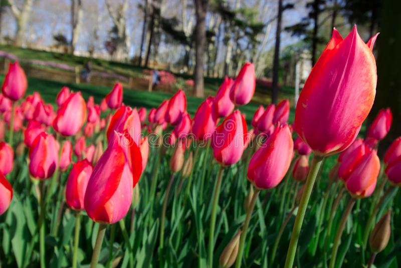 Frühlings-Zeit 2019, Tulip Field, bunte Tulpen stockfotos