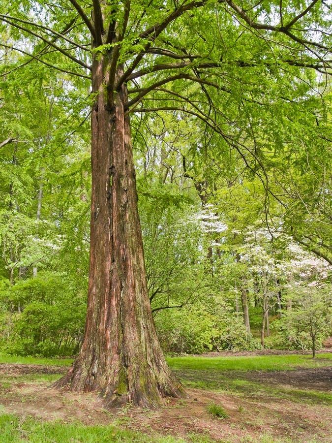 Frühlings-Zypresse-Baum lizenzfreies stockfoto