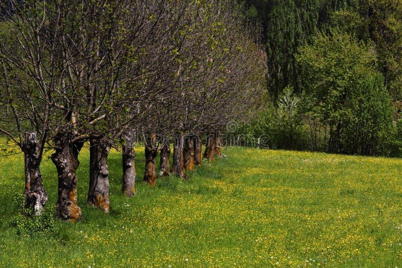Frühlingsbäume in der Reihe lizenzfreie stockfotos