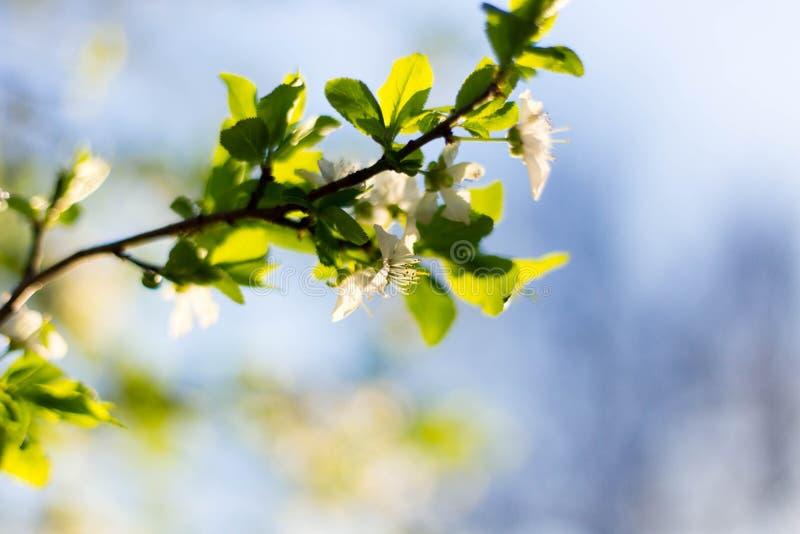 Frühlingsbaumblumen und -blätter auf Hintergrund des blauen Himmels lizenzfreie stockbilder