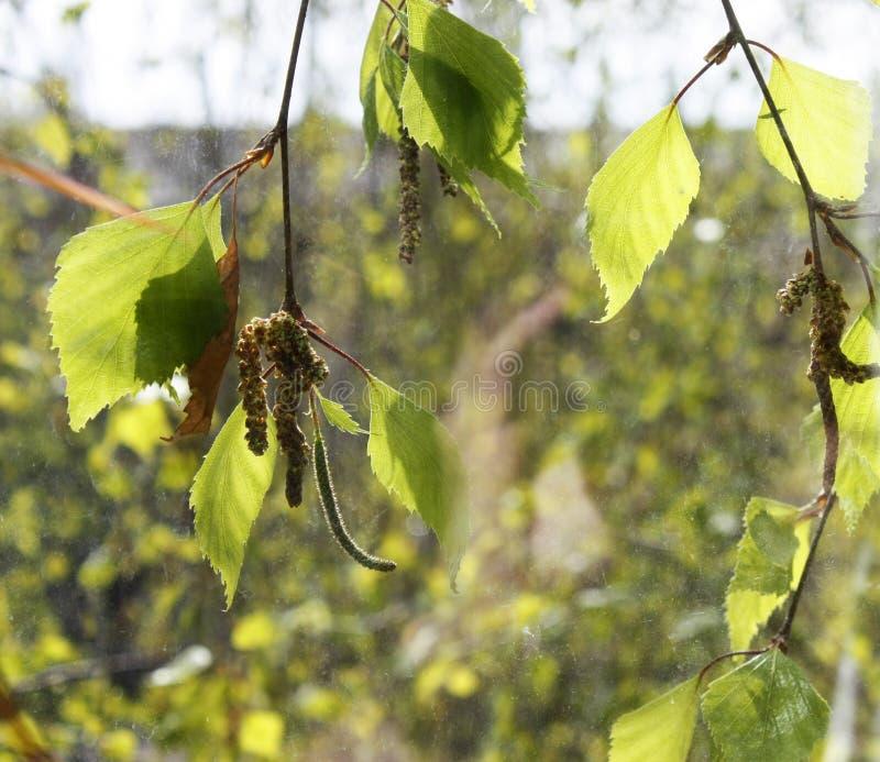 Frühlingsbirke mit grünen Blättern und Ringen außerhalb des Fensters stockfotografie