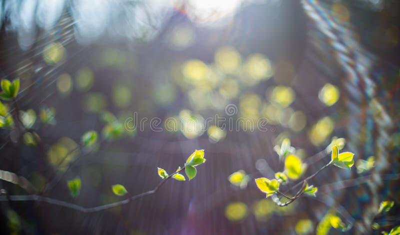 Frühlingsbirkenblätter stockfotos