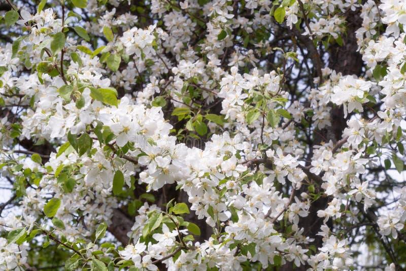Frühlingsbirnen-Betriebsblüte lizenzfreie stockfotos
