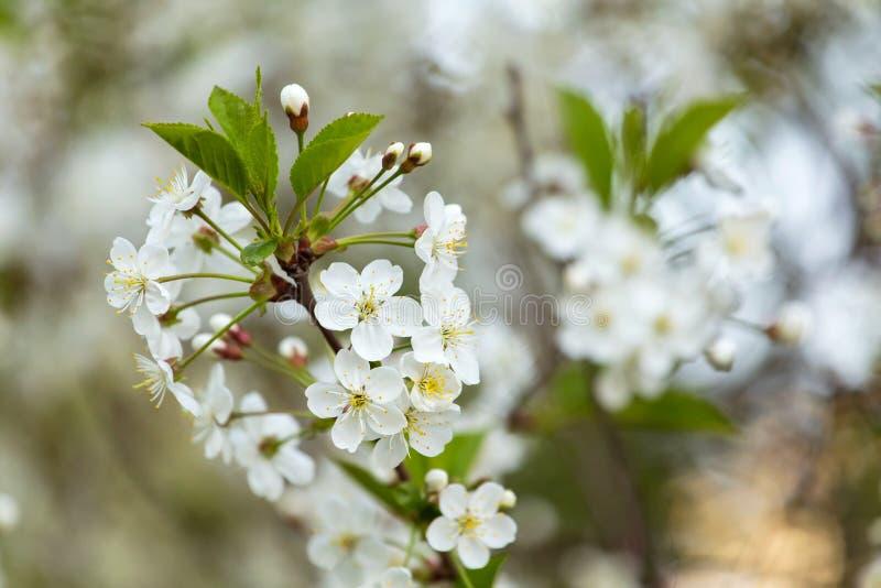 Frühlingsblüte, Blüte, Blumen auf Kirschbaumniederlassungsnahaufnahme, Makro Bokeh Hintergrund stockfoto
