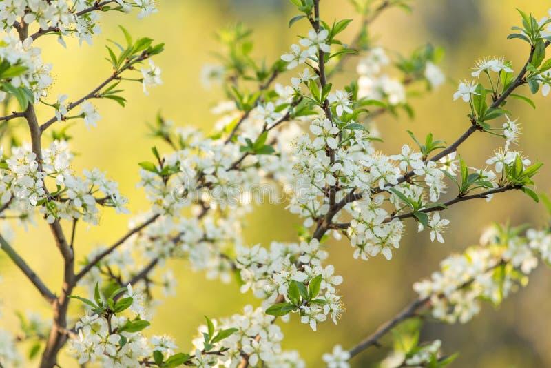 Frühlingsblüte, Blüte ploom Niederlassung mit Blumen im Sonnenlicht stockfotos