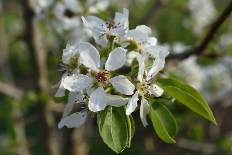Frühlingsblüten der süßen reifen Birne stockfotos