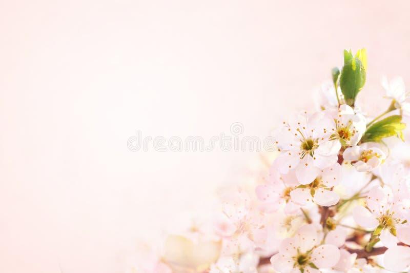 Frühlingsblüten-/Frühjahrkirschblüte, bokeh Blumenhintergrund-, Pastell- und weicheblumenkarte, getont stockfoto