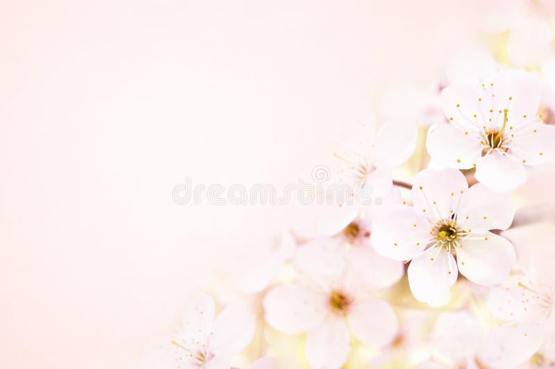Frühlingsblüten-/Frühjahrkirschblüte, bokeh Blumenhintergrund-, Pastell- und weicheblumenkarte, getont lizenzfreies stockfoto