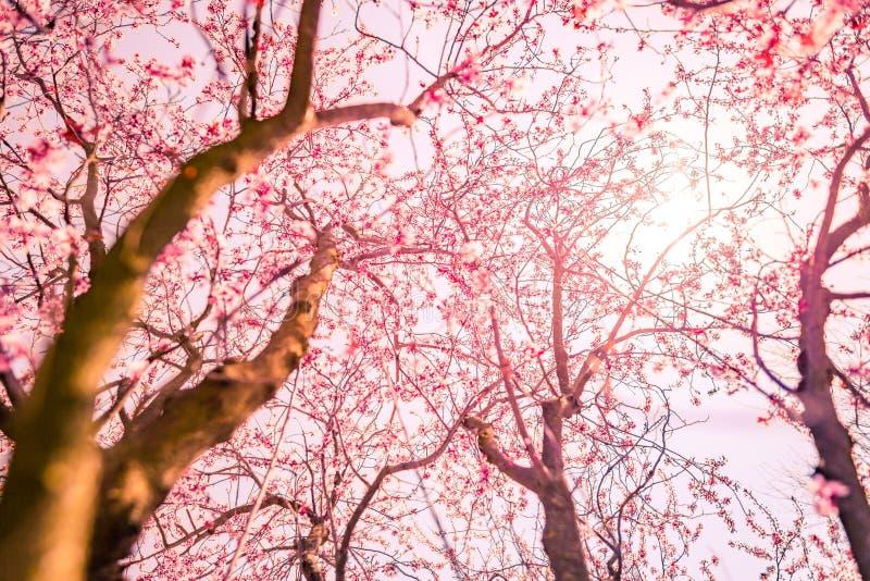 Frühlingsblütenhintergrund Schöne Naturszene mit blühendem sonnigem Tag des Baum- und Sonnenaufflackerns Gerade ein geregnet Schö lizenzfreie stockfotos
