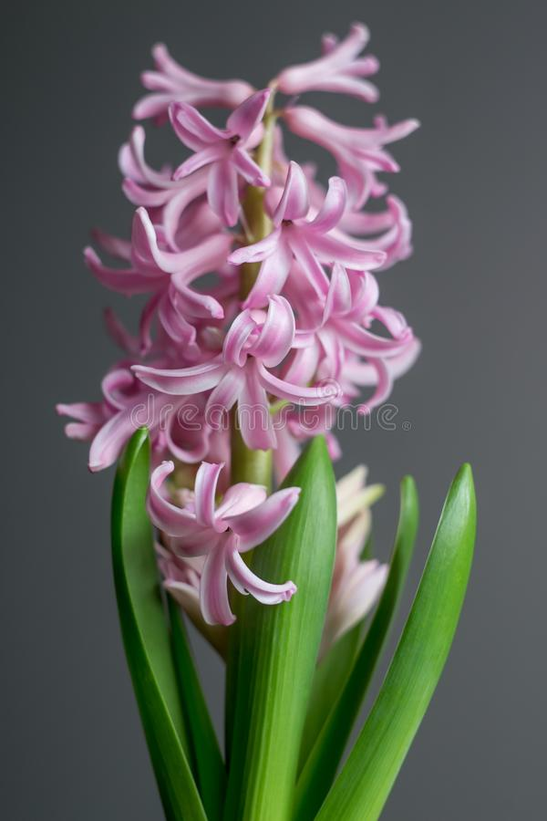 Frühlingsblume - blühende rosa Hyazinthe lizenzfreies stockbild