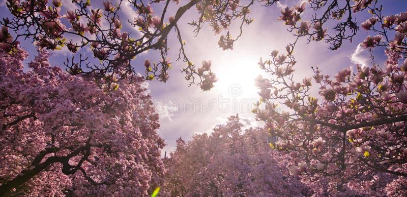 Frühlingsblume in den Niederlassungen der Locke stockbild