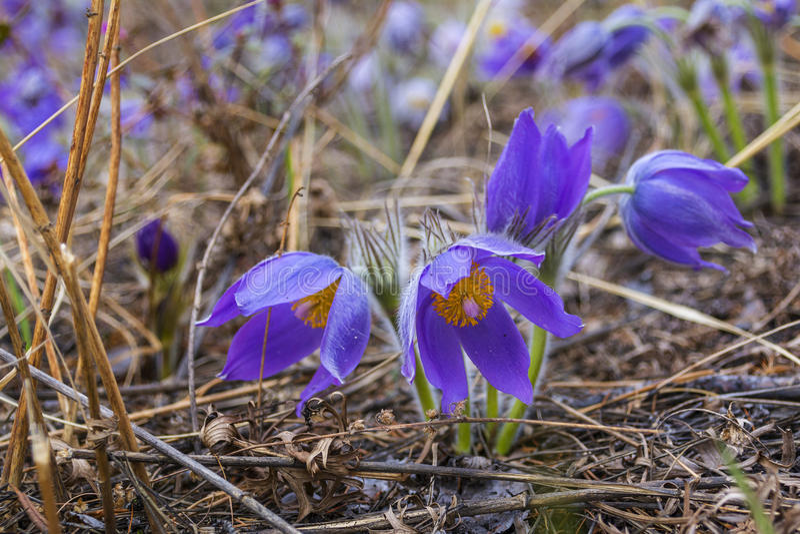Frühlingsblume Pulsatilla Schöne purpurrote kleine Pelzpasqueblume Pulsatilla, der auf Frühlingswiese blüht stockfotografie