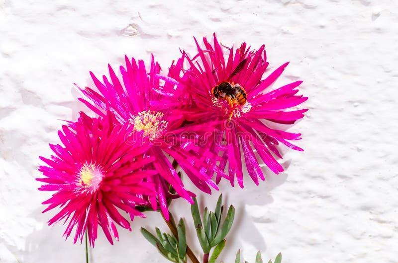 Frühlingsblume und -biene, die zum Herumsuchen fliegen stockbilder