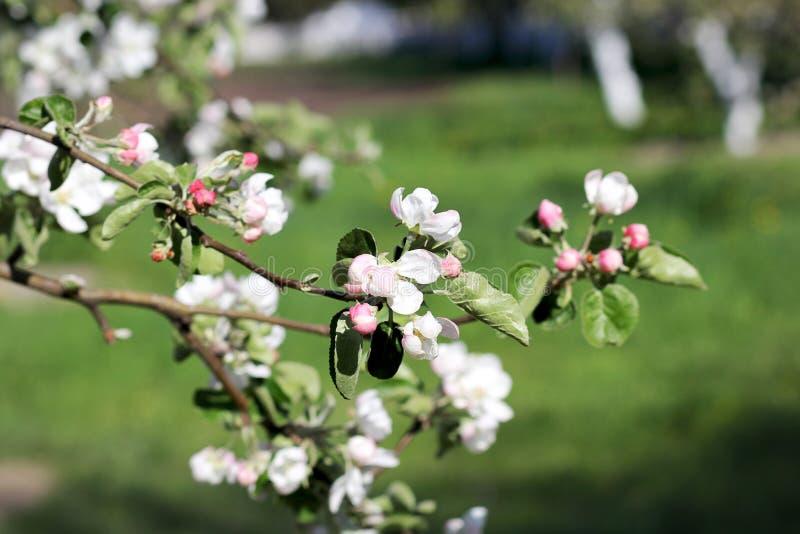 Frühlingsblumen auf einer Niederlassung des Apfels lizenzfreies stockfoto