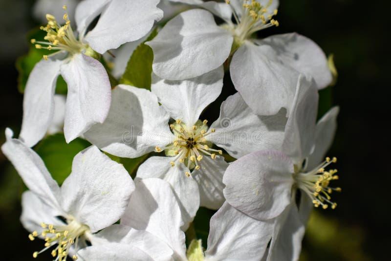 Frühlingsblumen des blühenden FrühlingsApfelbaums - Großaufnahmemakrounschärfe, Pastelltöne Frühlingslandschaft mit Frühlingsapfe stockbild