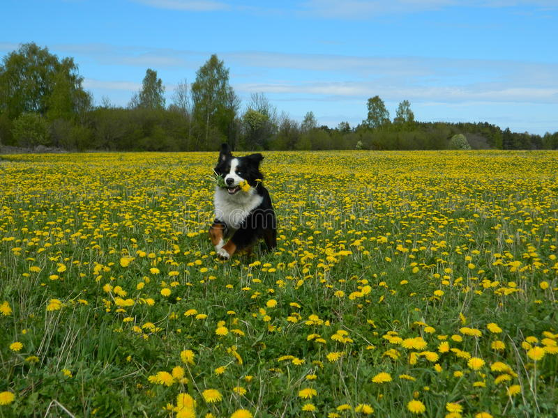 Frühlingsblumen des Löwenzahns field stockbilder