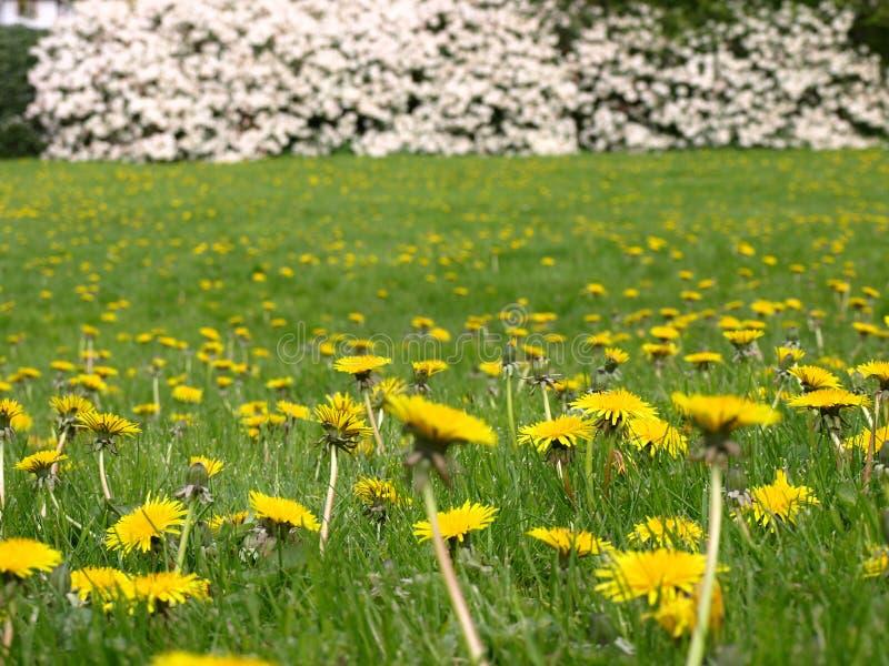 Frühlingsblumen des Löwenzahns field stockfotografie