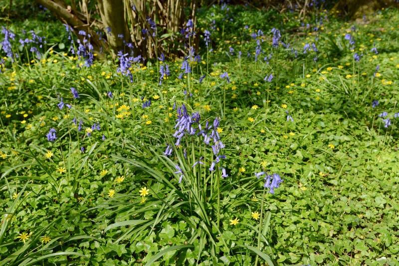 Frühlingsblumen - Glockenblumen und celandines im Waldland lizenzfreie stockfotografie