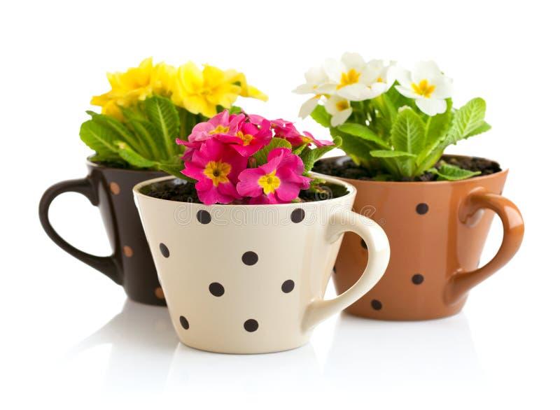 Frühlingsblumen mit Grünblättern im Topf lizenzfreie stockfotografie