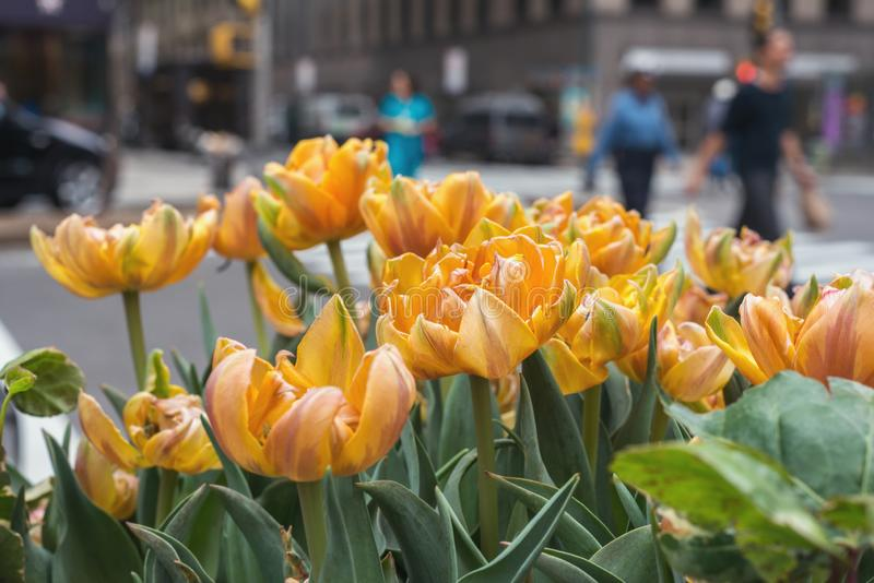 Frühlingsblumen in NYC stockbilder