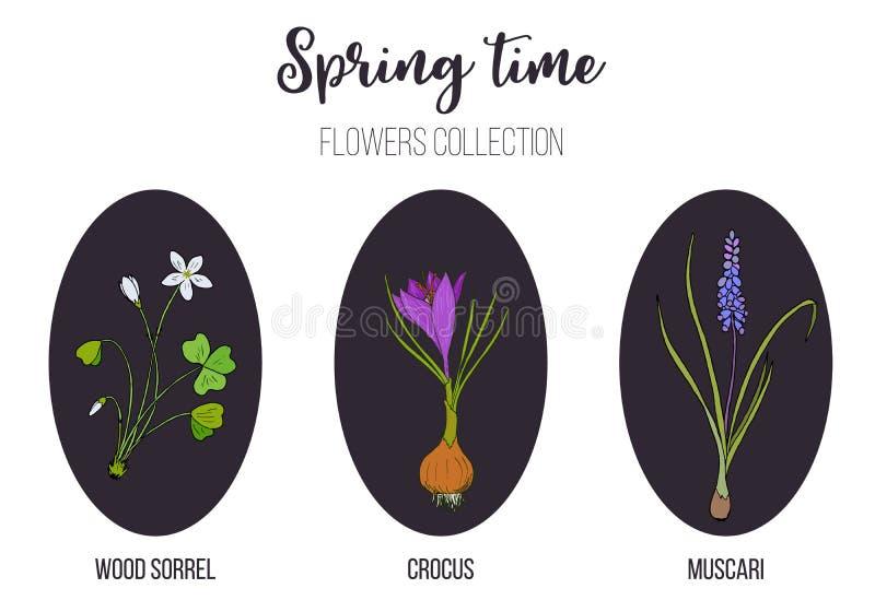 Frühlingsblumen stellten Krokus, Muscari, Holzsauerampfer ein stock abbildung