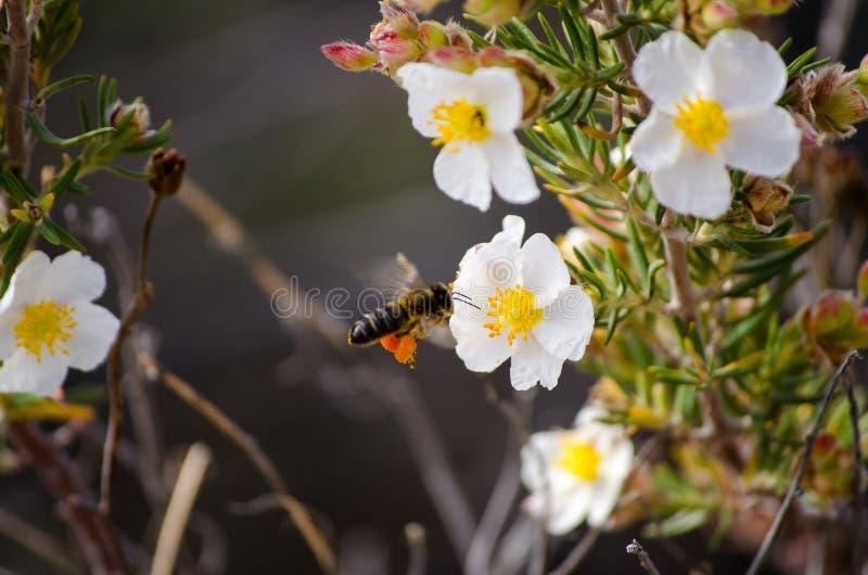 Frühlingsblumen- und -bienenherumsuchen stockfoto