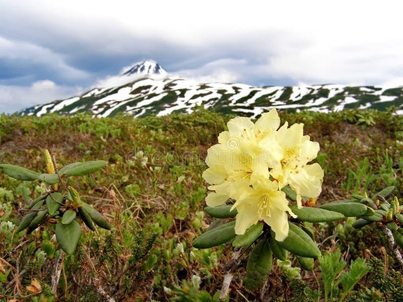 Frühlingsblumen von Kamchatka Blumen und Lava des Vulkans stockfotografie