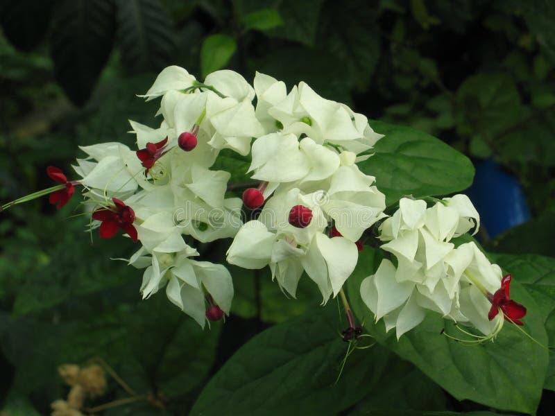 Frühlingsblumen von weißen Krokussen im Garten stockfotografie