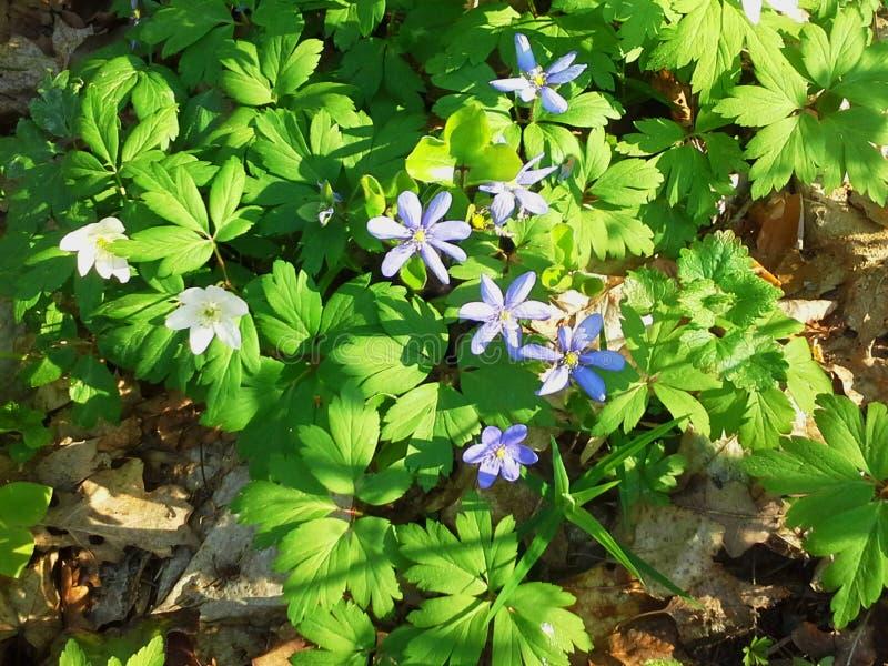 Frühlingsblumen, weiße Anemone und blauer Liverwort, Hepatica-nobilis lizenzfreie stockfotografie