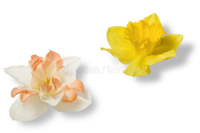 Frühlingsblumen: weiße und gelbe Narzisse lokalisiert auf weißem Hintergrund lizenzfreie stockbilder