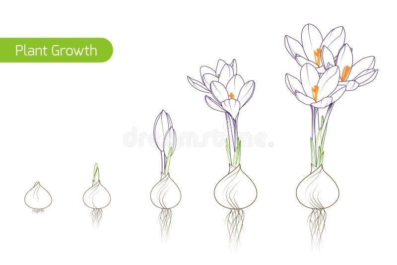 Frühlingsblumenentwicklungsprozessbirnen-Sprösslingsanlage lizenzfreie abbildung