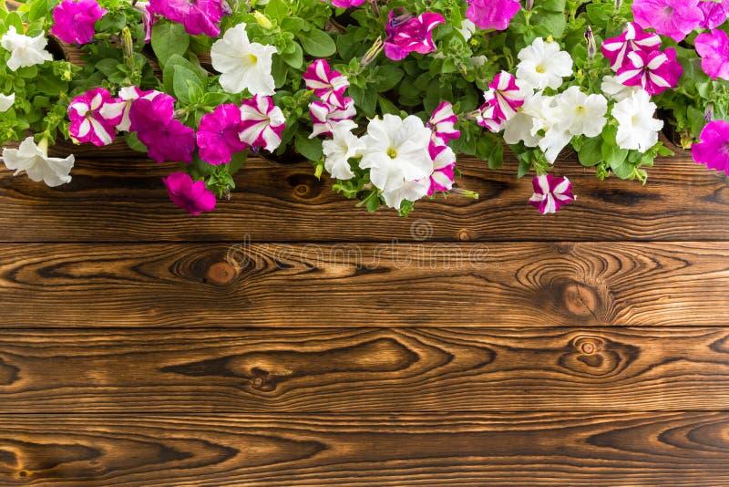 Frühlingsblumengrenze mit bunten eingemachten Petunien stockbilder