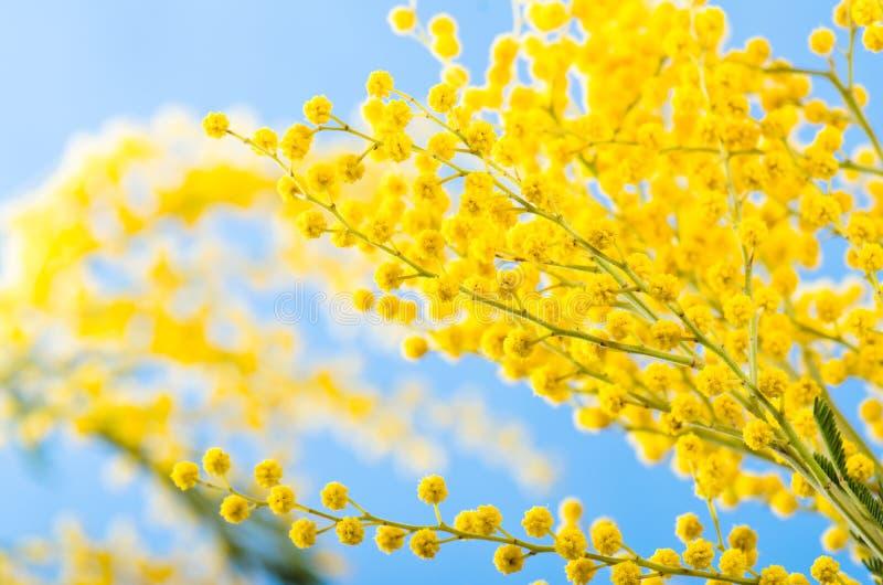 Zweig eines blühenden Akazienbaums stockbild