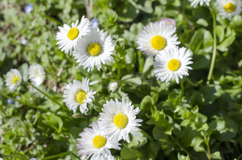 Frühlingsfeld mit Gänseblümchenblumen stockbild